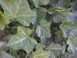 BALTIC-SUB ZERO IVY 1 potted plant image 2