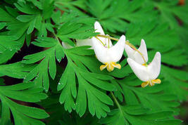 Dutchman's Breeches 5 bulbs-root systems image 4