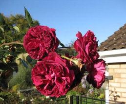 5 BURGUNDY CLIMBING ROSE Red Rosa Bush Vine Climber Fragrant Flower Seeds - $14.88