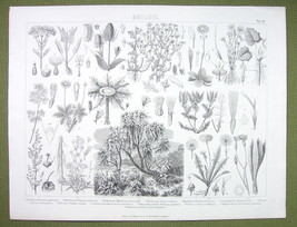 BOTANY Plants Flowers Tobacco Coltsfoot Dandelion Daisy - 1870s Engravin... - $13.77