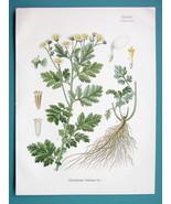 FEVER FEW Flower Chrysanthemum Parthenium - Beautiful COLOR Botanical Print - $19.12