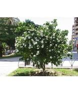 Gardenia volkensii - Transvaal Gardenia - Indigenous South African Shrub... - $29.00
