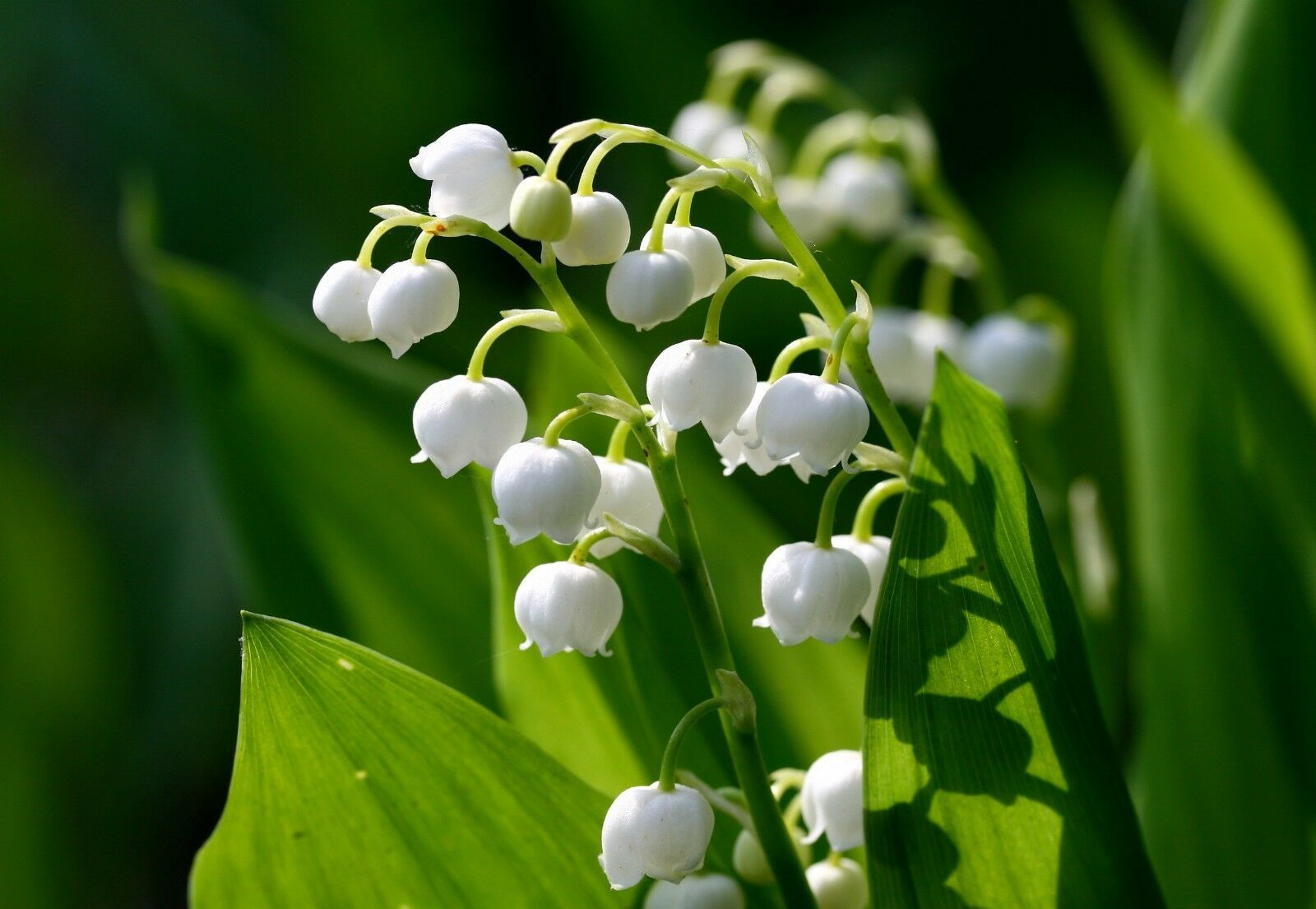 Lily of the Valley, May Lily, May Bells 5 roots-(Convallaria majalis)