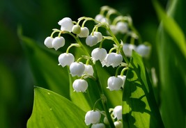 Lily of the Valley, May Lily, May Bells 5 roots-(Convallaria majalis) image 1