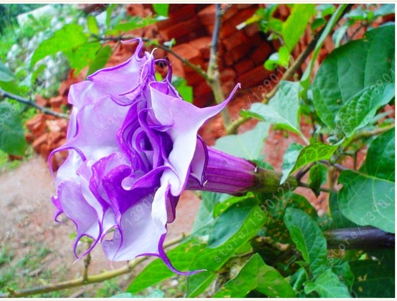 BEST PRICE 100 Seeds purple datura, FS DIY Plant Seeds