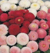 SHIP FROM US 150,000 English Daisy Double Flower Mix Seeds, ZG09 - $108.76