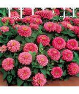 50 Zinnia Dreamland Rose Flower Seeds - $19.25
