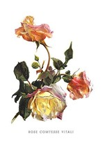 Rose Comtesse Vitali by H.G. Moon - Art Print - $19.99+