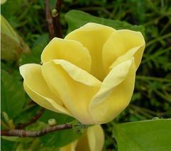 Yellow Bird Magnolia image 2