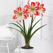 1 Large Bulb - Amaryllis Minerva - Very Easy to Grow - $29.95
