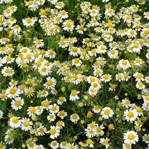 Chamomile Seeds - Roman - Home & Garden - Outdoor Living - Herb - FREE SHIPP - $58.99