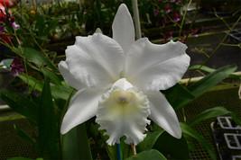 C. Hawaiian Wedding Song 'Virgin' CATTLEYA Orchid Plant Pot BLOOMING SIZE 22k image 1