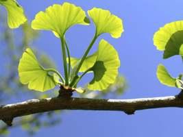 Ginkgo Tree maidenhair  qt. pot (Ginkgo biloba) image 5