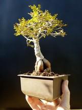 Operculicarya Decaryi Bonsai- Natural bonsai - unusual plant - $124.70