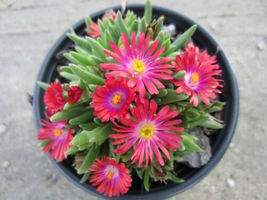 Ship From Us 100 Seeds Gelato Bright Red Ice Plant Daisy Livingstone Flower SBR4 - $11.99