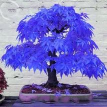 10 Seed Rare Blue Maple Tree Seeds, DIY Beautiful Tree DO - $8.99
