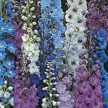 50 Pcs Giant Pacific Delphinium Flower Seeds #MNHG - $14.50