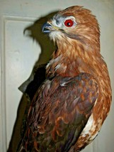 Taxidermy-hunting-chasse-präparat BUZZARD  - $354.95