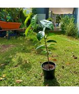 SHIP FROM US AVOCADO Tropical Fruit Live BIG TREE 1'-3' TPE3 - $138.80