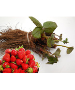 Bareroot Albion ever bearing strawberry Plants - Great Flavor - High Yields - $24.99+