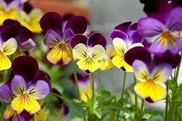 5,000 Seeds Johnny Jump-Up Flower Perennial Purple Blooms Pink ! Garden ... - $59.40