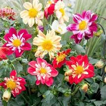 BEST PRICE 50 Seeds Mixed Colorful Dwarf Dahlia Bonsai,DIY Flower Seeds E3730 DG - $4.99