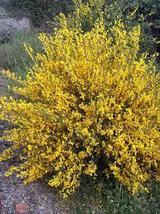 50 Pcs Seeds Scotch Gypsy Broom 50 Seeds - Cytisus – Perennial HH01 - $15.99