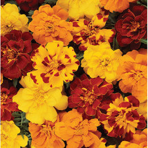 Durango Outback Mix Marigold Flower Seeds Container Flower Seeds - $8.99