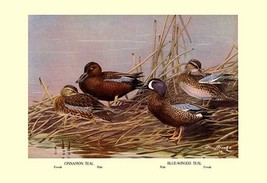 Cinnamon and Blue-Winged Teals by Allan Brooks - Art Print - $19.99+