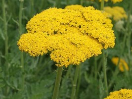 SHIP FROM US 12,000 Gold Yarrow Seeds - Achillea milleforum, ZG09 - $28.76