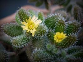 """SUCCULENT DELOSPERMA ECHINATUM 'PICKLE PLANT'PICKLE CACTUS' 2"""" POT - $31.39"""