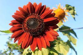 Velvet Queen Sunflower 50 Flower Seeds - $15.98