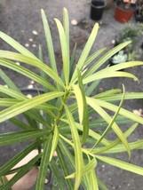 """Live Rooted Plant Podocarpus Macrophyllus 2"""" Pot Pre Bonsai - $5.65"""