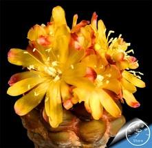 Sale 2018!!100bonsai/Pack cactus Rebutia variety flowering color cacti r... - $1.00