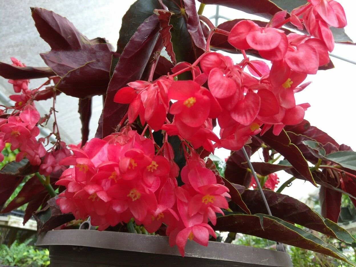 "Dragon Wing Begonia - Torch Red - 1 Live Plant - 4"" Pot"