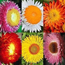 SHIP FROM US STRAWFLOWER 125 SEEDS RARE MIX DOUBLE FLOWER COMBINED. TGV1 - $11.56