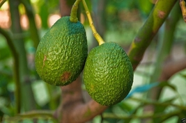 Avocado Tree Seed (pit) also known as Pear butter fruit butter pear  image 6