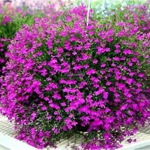 New Nice Adorable Flower Fragrant Blooms Butterfly Flower Seeds EHE8 01 - $2.73