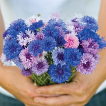 Choice Mix Centaurea Seed /  Centaurea Flower Seeds - $12.00
