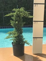 1 Starter Plant Juniper Procumbens Nana Trellis Unique - $267.30