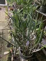 Brassavola Little Stars (nodosa) Cattleya Orchid Plant FRAGRANT Blooming Size!!! image 4