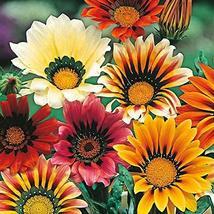 100 Seeds Gazania Seeds Mix Flower Seeds Garden Seeds TkMorebargins - $36.63