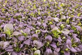 Lettuce Romaine Red / Cimmaron Non GMO Heirloom Vegetable Seeds Sow No GMO® - $1.97+