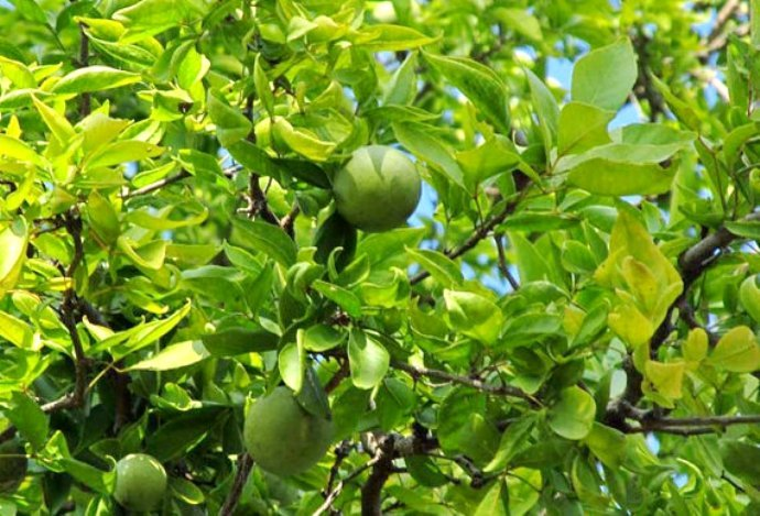 how to grow bilva tree from seed