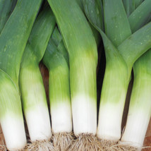 LEEKS 10 Fresh vegetable seed ready to plant in your garden - $1.99