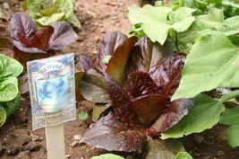 Lettuce Romaine Red Leaf Non GMO Heirloom Leafy Garden Vegetable 3000 Seeds by S - $3.93