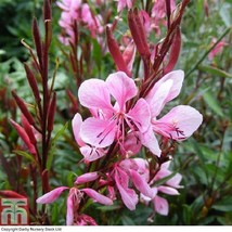 Quart Gaura Passionate Blush Plant Garden Patio Outdoor Decoration Shrub... - $18.40
