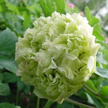 Light Green Peony Tree Flower Seeds,5 seeds, ball type big blooms garden plants - $4.22