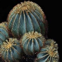 20Pcs Blue Barrel Cactus Seeds Ferocactus Glaucescens Seed - $20.94