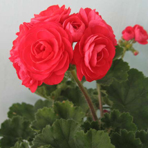 Red Viva Rosita Zonal Geranium Flower Seeds 10PCS - $8.49